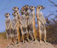 Manguszta család